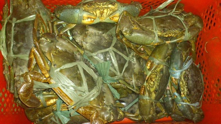 Buy Live Mud Crabs