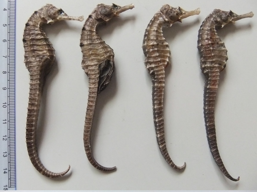 Buy Dried Seahorse for sale