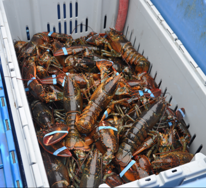 Buy Live Lobsters for sale