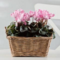 Mini Cyclamen Basket