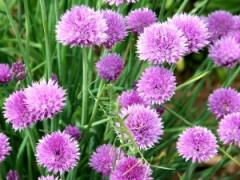 Chives (Herb Seeds)