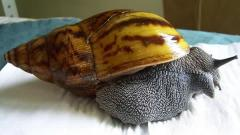 Achatina achatina Giant  Tiger  Land Snails
