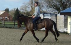 15.2hh 5 yr mare