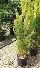 Cupressus Macrocarpa 'Goldcrest' 15ltr