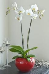 Twin Stemmed Orchid