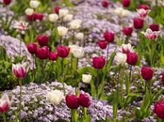 Flower Bulbs Tulips