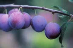 Plum fruit trees