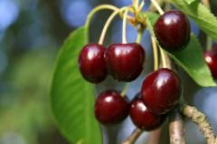 Sweet cherry fruit trees