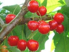 Sour cherry fruit trees