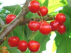 Sour cherry fruit trees