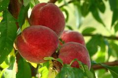 Peach fruit trees