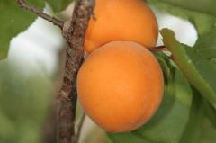 Apricot fruit trees