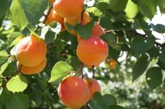 Nectarine fruit trees