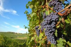 Vine grapevine plants