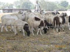 Live cattle/sheep/goats
