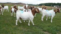 Live Goats/sheep