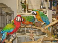We sell exotic birds: macaw parrots, cockatoos