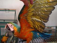We sell exotic birds: macaw parrots