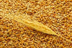 Wheat - Grade II, III and Feed - Ukrainian Origin