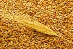 Wheat - Grade II, III and Feed - Ukrainian Origin