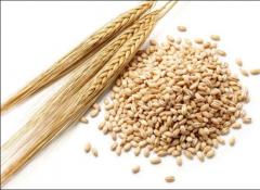 Barley for Animal Feed - Ukrainian Origin
