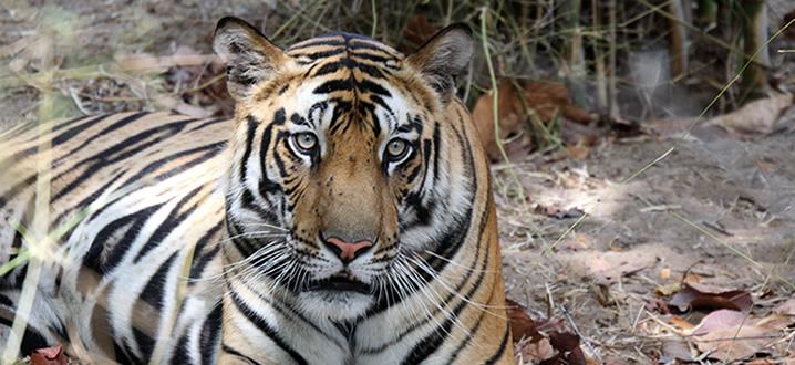 Order Ultimate Tiger Safari