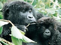 Order Mountain Gorilla Express tour