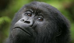 Order Gorillas holidays