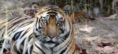 Ultimate Tiger Safari