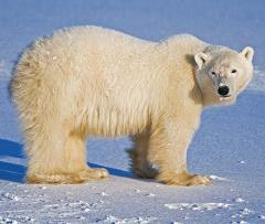 Polar Bear Viewing tour