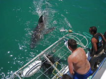 Cape Town Shark Dive tour
