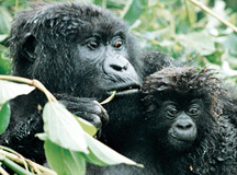 Mountain Gorilla Express tour
