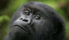 Gorillas holidays